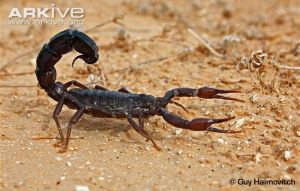 Arabian-fat-tailed-scorpion-walking
