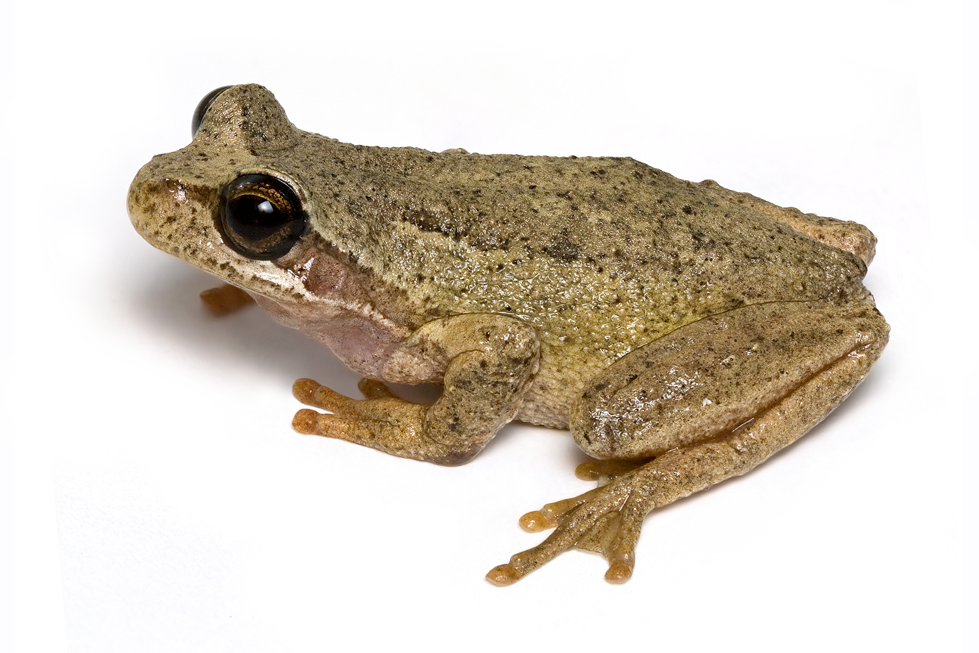 Frogs france and false philosophy part 1 this blog is rated browntreefrog2 biocorpaavc Images