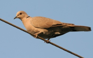 Red_Collared_Dove_(Female)_I_IMG_9674